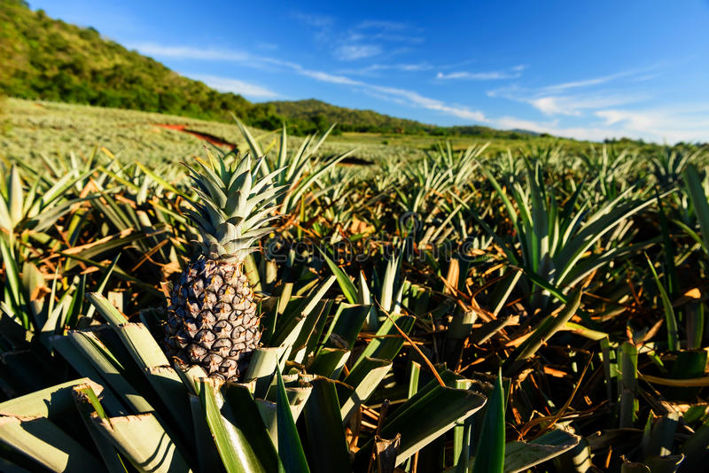 Ферма плодоовощ ананаса тропического стоковое фото