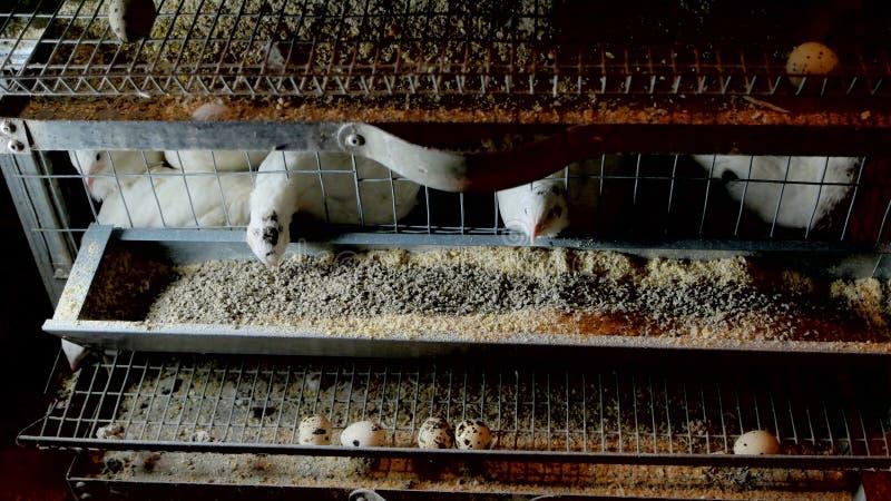 Ферма разводя триперсток и яя триперсток стоковое фото