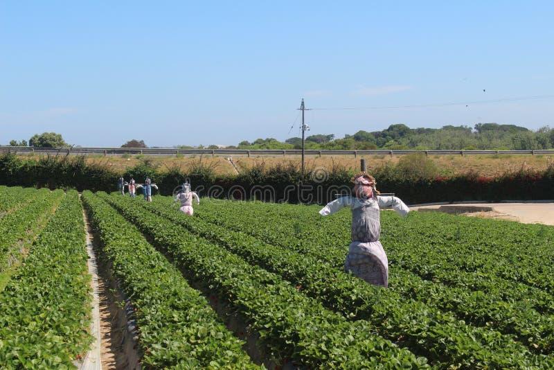 Ферма рудоразборки клубники Polkadraai в Кейптауне стоковые изображения
