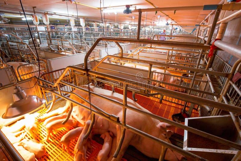 Ферма свинeй с высококачественным сельским хозяйством стоковое изображение