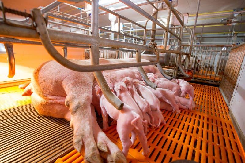 Ферма свинeй с высококачественным сельским хозяйством стоковые фотографии rf