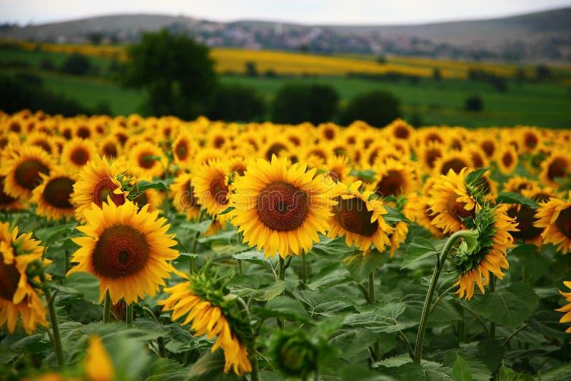 Ферма солнцецвета стоковые фото