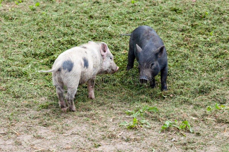 Ферма счастливых молодых поросят свиней органическая, играя снаружи, трава стоковые изображения rf