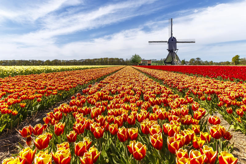 Ферма тюльпана цвета радуги стоковое фото rf