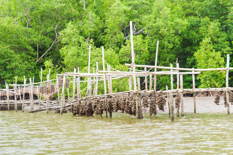 Ферма устрицы в районе леса мангровы на Chanthaburi, Таиланде Одна из самой лучшей достопримечательности в Таиланде стоковая фотография