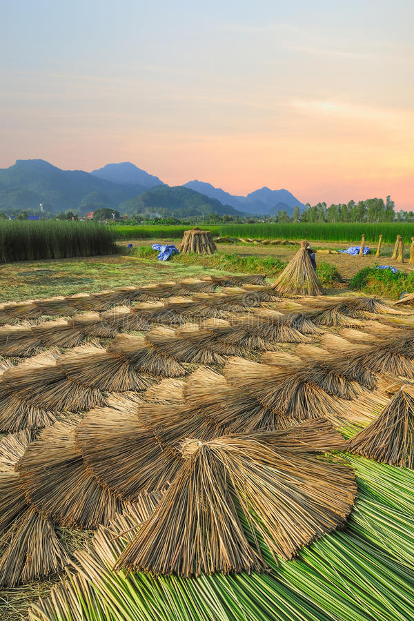 Ферма циновки падиа земледелия в утреннем времени на MaeSai, Chiangrai стоковое изображение