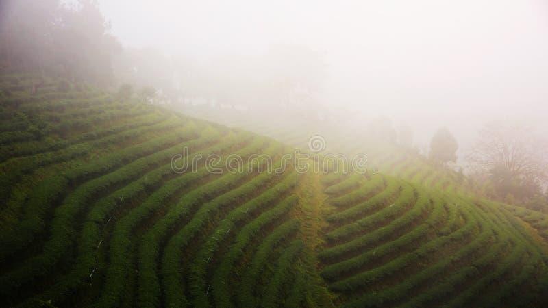 ферма чая с туманом i стоковое изображение rf