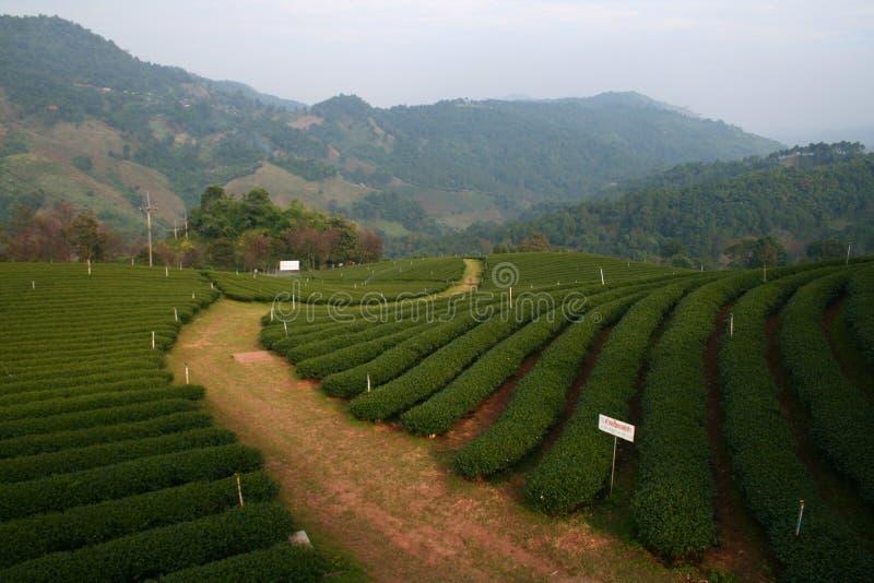 Ферма чая стоковая фотография
