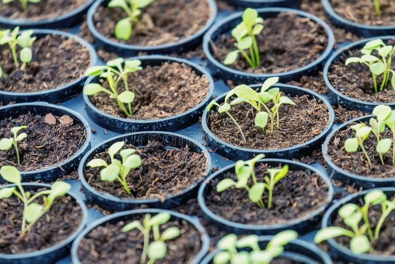 Ферма Rucola Hydroponic Молодые заводы Rucola, молодые ракеты, ростки Rucola, саженцы весны здоровый овощ стоковое изображение