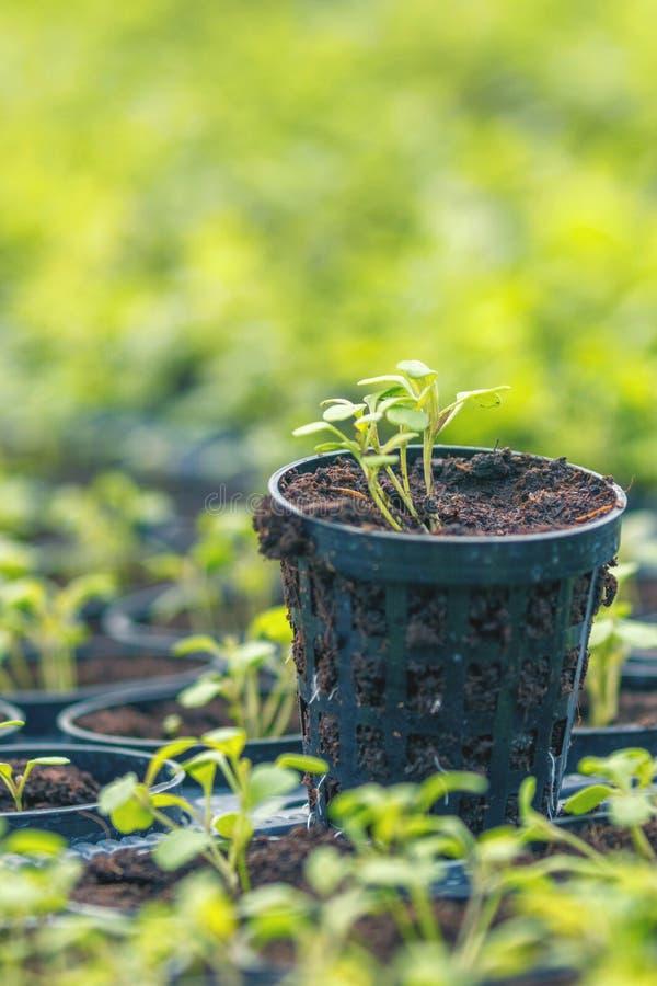 Ферма Rucola Hydroponic Молодые заводы Rucola, молодые ракеты, ростки Rucola, саженцы весны здоровый овощ стоковая фотография rf
