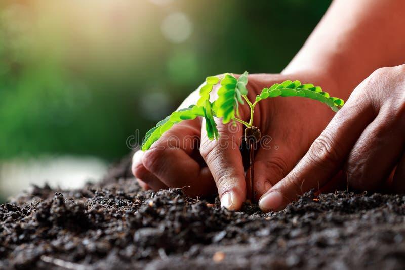 Фермерская ручная посадка растительного тамаринда в плодородном сои стоковые изображения