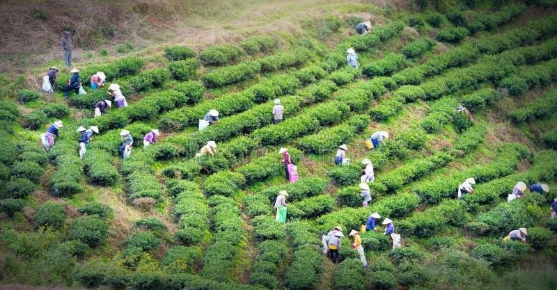 Фермеры в трудовом костюме, конические шляпы группы жать чай в утре стоковые фото