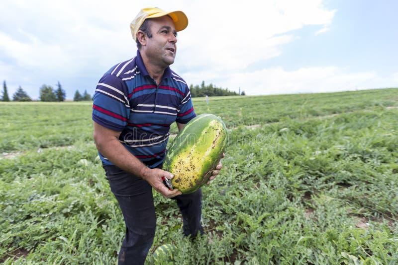 Фермеры жать арбузы от поля стоковые фотографии rf