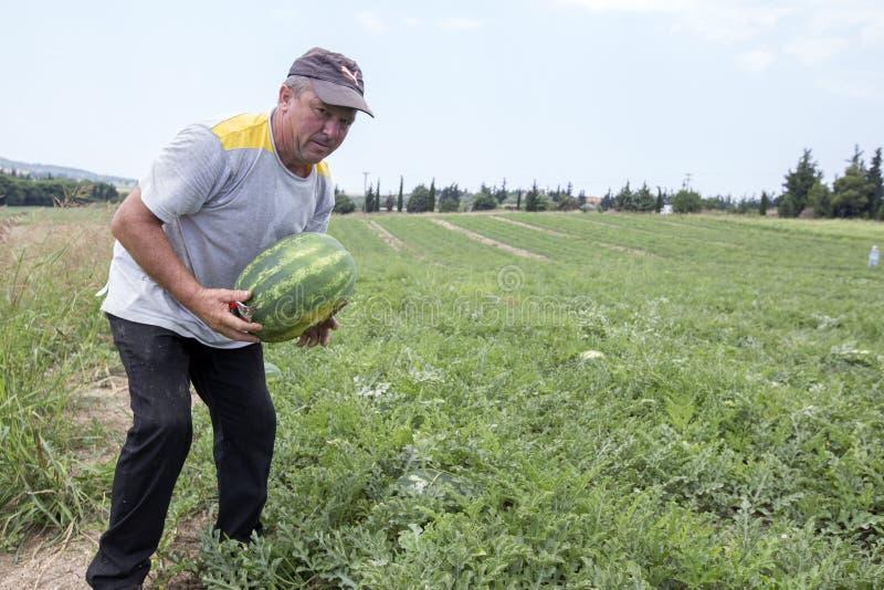 Фермеры жать арбузы от поля стоковое фото rf