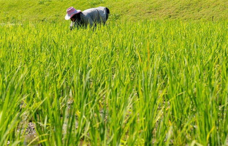 Фермеры засаживают рис стоковая фотография