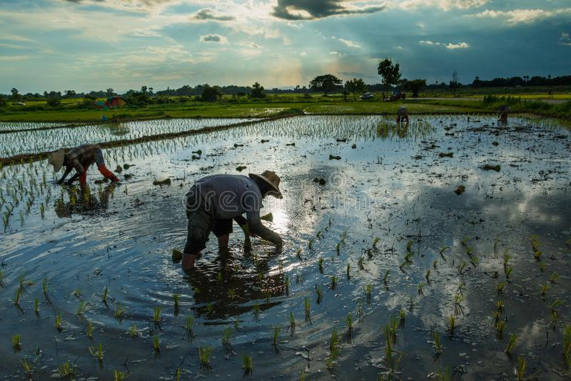 Фермеры риса Таиланда засаживая фермеров сезона растут рис, нерезкость земледелия стоковое фото rf