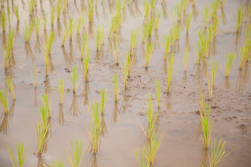фермеры рисовой посадки засаживая рис стоковая фотография rf