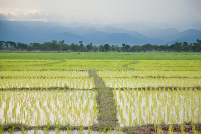 фермеры рисовой посадки засаживая рис стоковая фотография