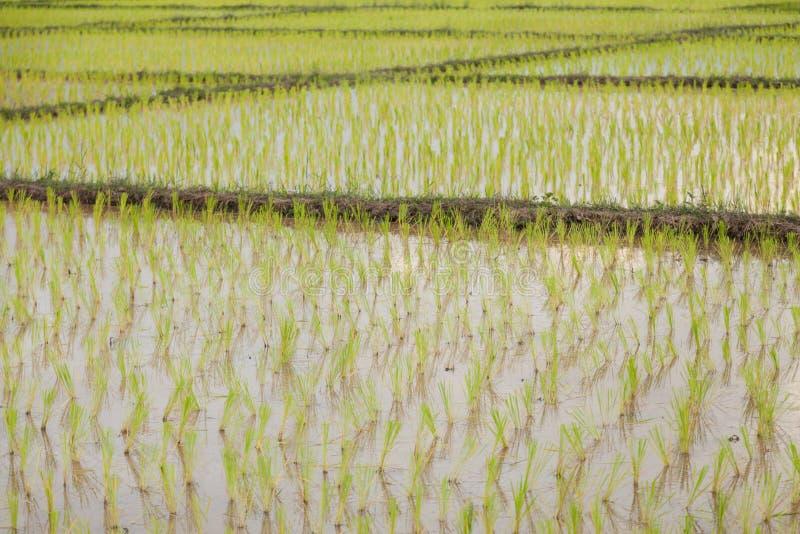 фермеры рисовой посадки засаживая рис стоковое изображение rf