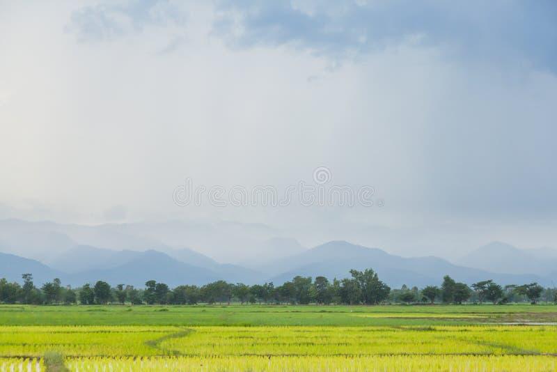фермеры рисовой посадки засаживая рис стоковые фото
