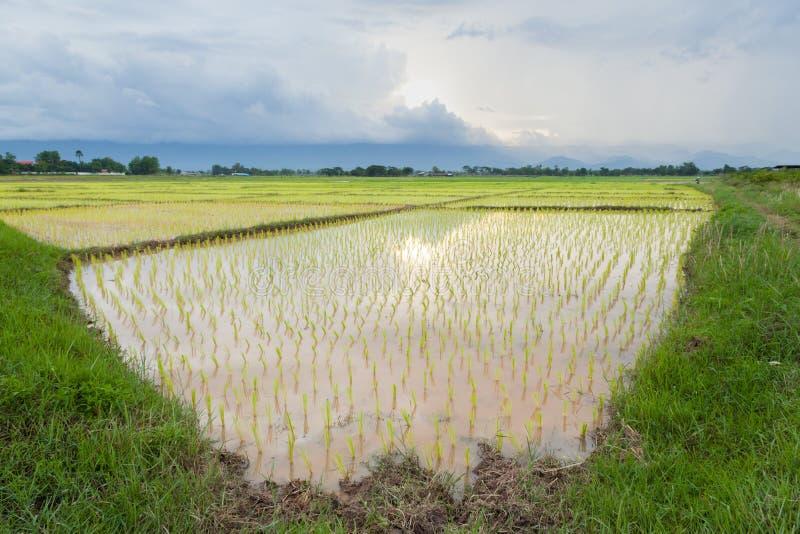 фермеры рисовой посадки засаживая рис стоковое фото rf