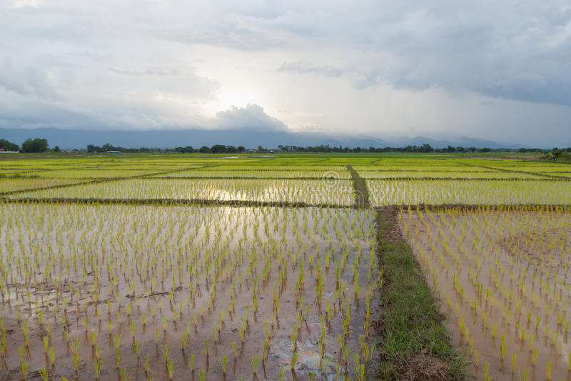 фермеры рисовой посадки засаживая рис стоковое фото
