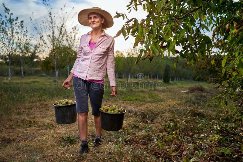 Фермеры собирают грецкие орехи в саду стоковые фотографии rf