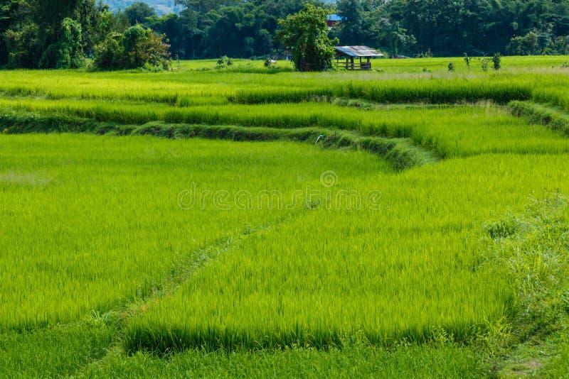 Фермеры с зеленым рисом, рисом, полем стоковое изображение rf