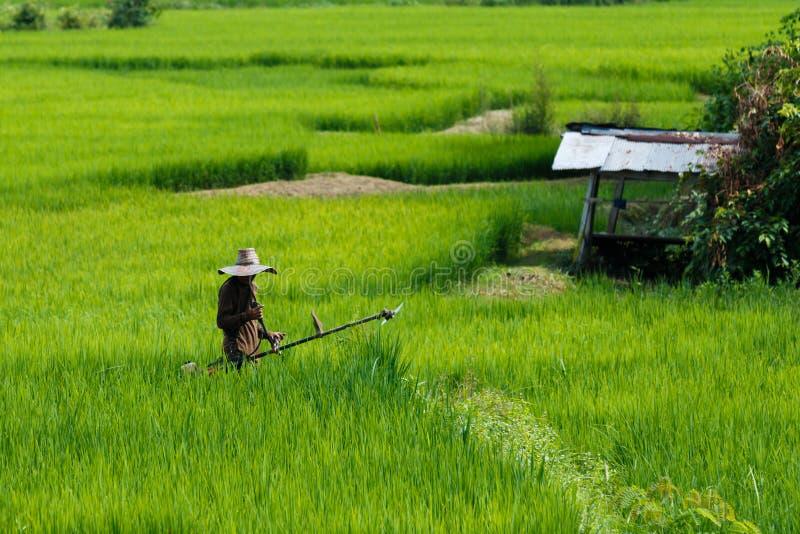 Фермеры с зеленым рисом, рисом, полем стоковая фотография
