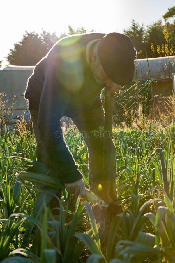 Фермер вытягивая лук-порей от земли стоковая фотография