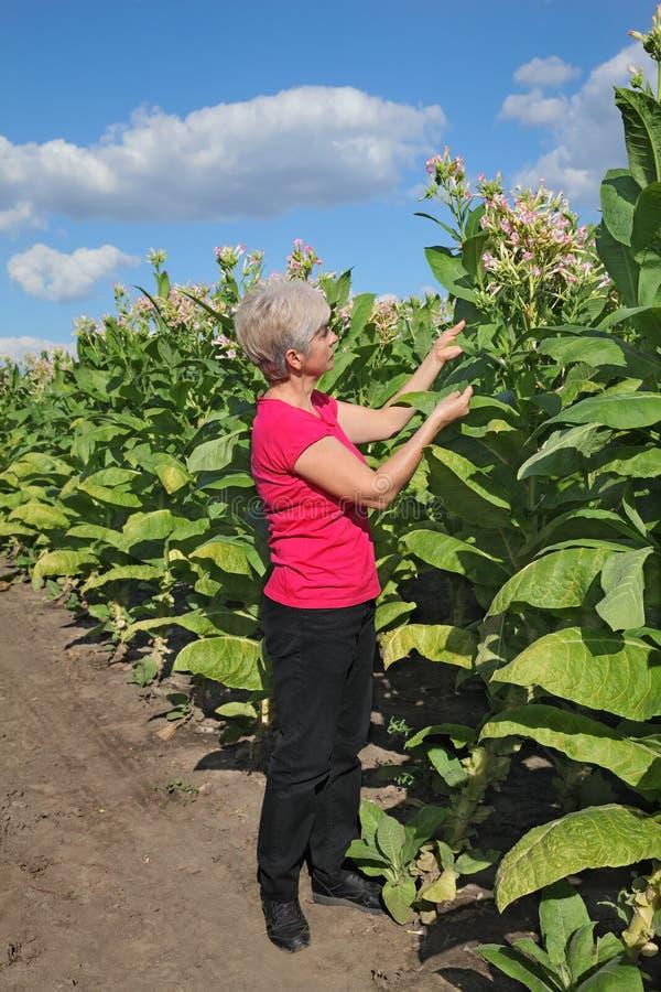 Фермер в поле табака стоковое фото