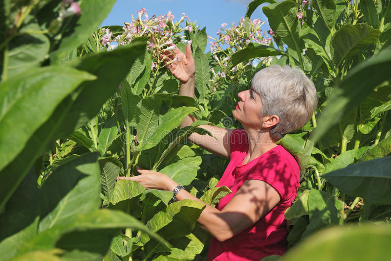 Фермер в поле табака стоковые изображения rf