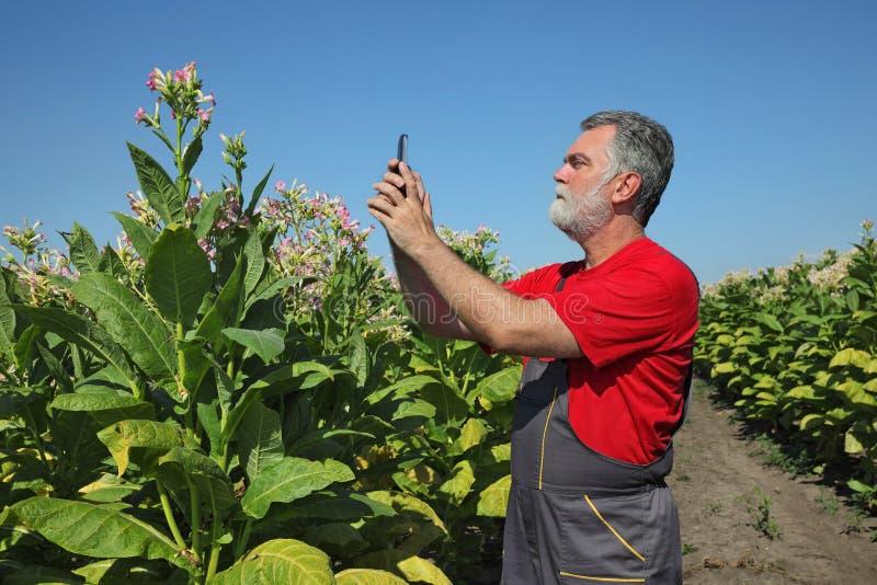 Фермер в поле табака стоковое фото rf