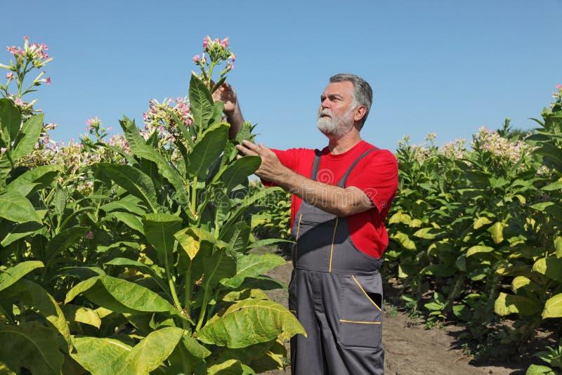 Фермер в поле табака стоковая фотография rf