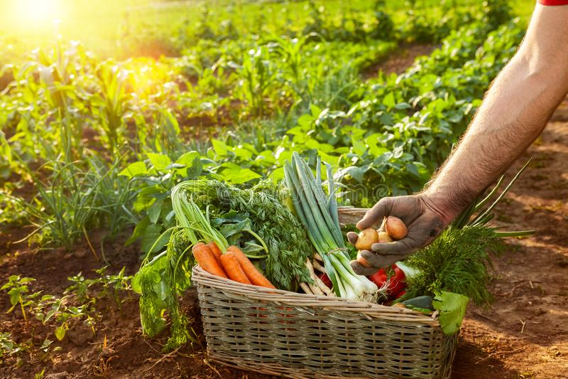 Фермер держа картошку от плетеной корзины стоковые изображения rf
