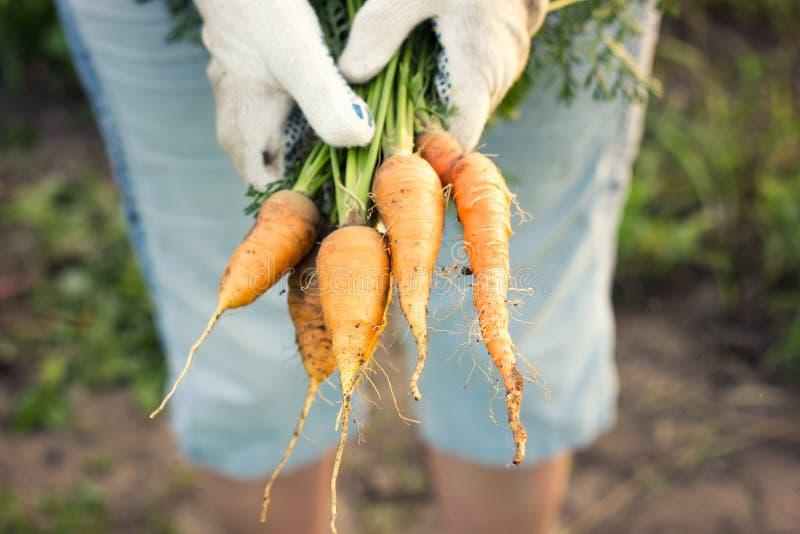 Фермер держа свежие морковей, жать, стоковая фотография