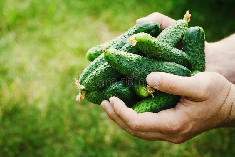 Фермер держа в руках сбор зеленых огурцов в саде Естественные и органические овощи farming стоковое изображение rf