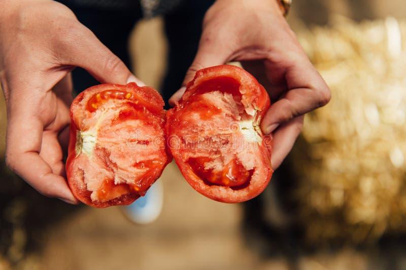 Фермер держа свежий томат в парнике стоковая фотография rf