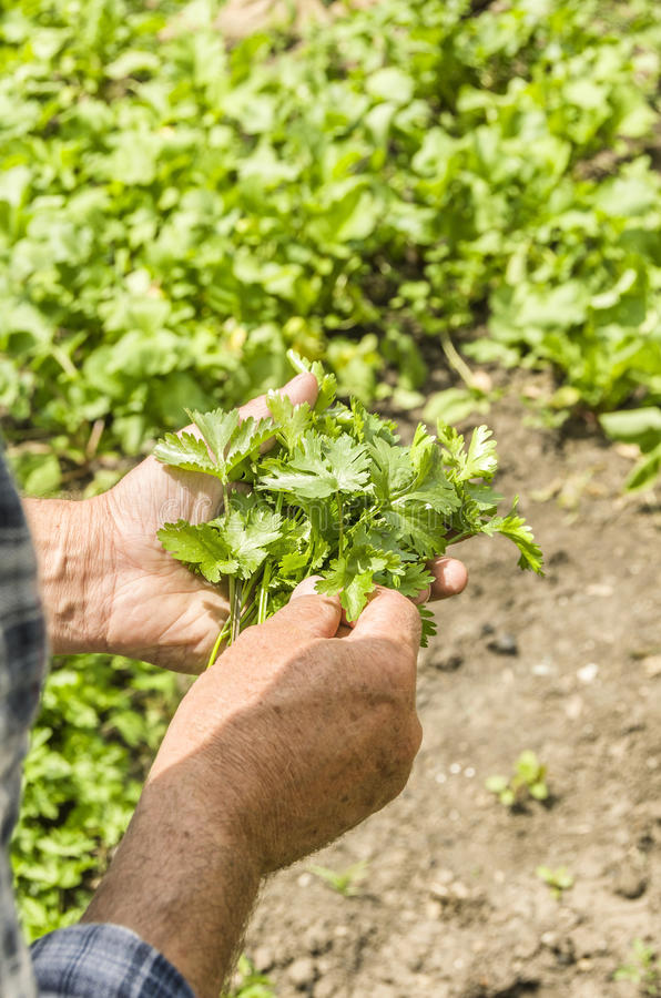 Фермер держа cilantro Свежий и натуральные продукты greens стоковая фотография rf