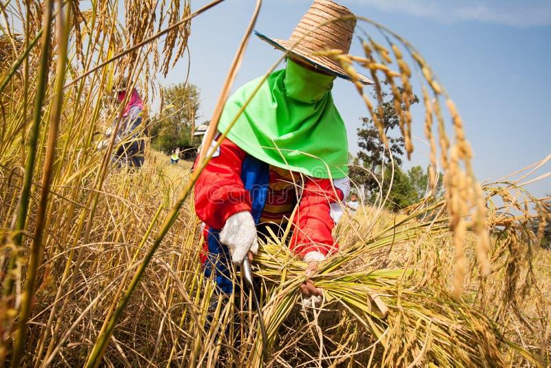 Фермер женщины жать рис вручную, в поле риса в северовосточном Таиланде, во время сезона сбора стоковая фотография rf