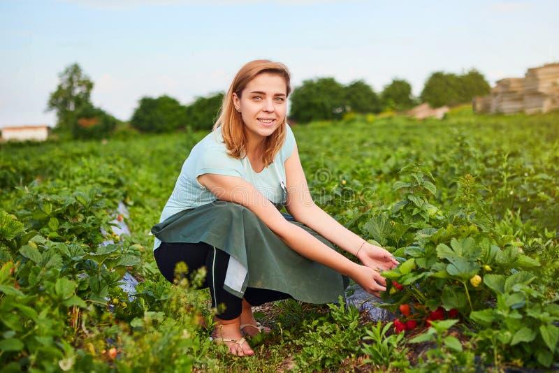 Фермер женщины работая в поле клубники Работник комплектует клубники стоковое изображение rf