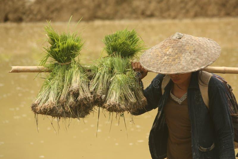 Фермер женщины работая в рисе fields во время засаживать сезон стоковая фотография rf