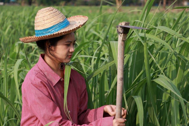 Фермер женщины с сапкой в руке работая в ферме сахарного тростника и н стоковые изображения