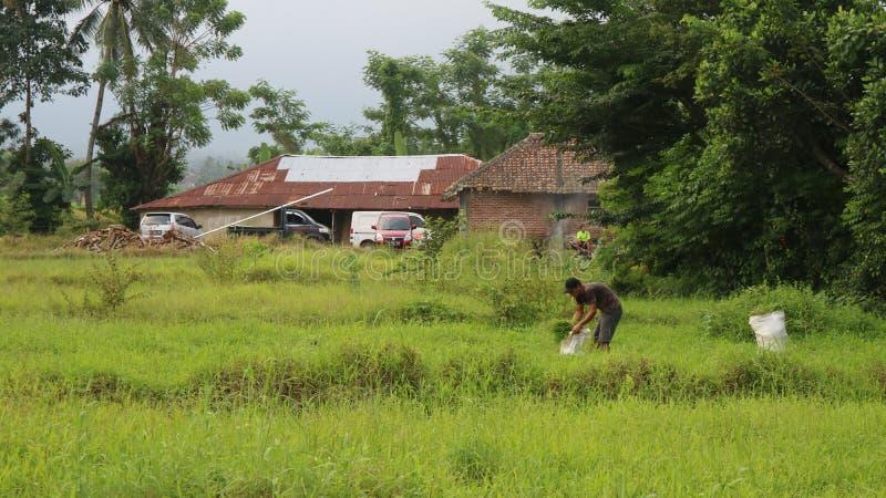 Фермер засаживая на органических сельскохозяйственных угодьях неочищенных рисов стоковые фото