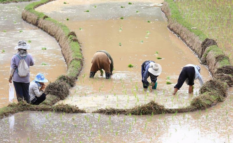 Фермер засаживая неочищенные рисы стоковые фото