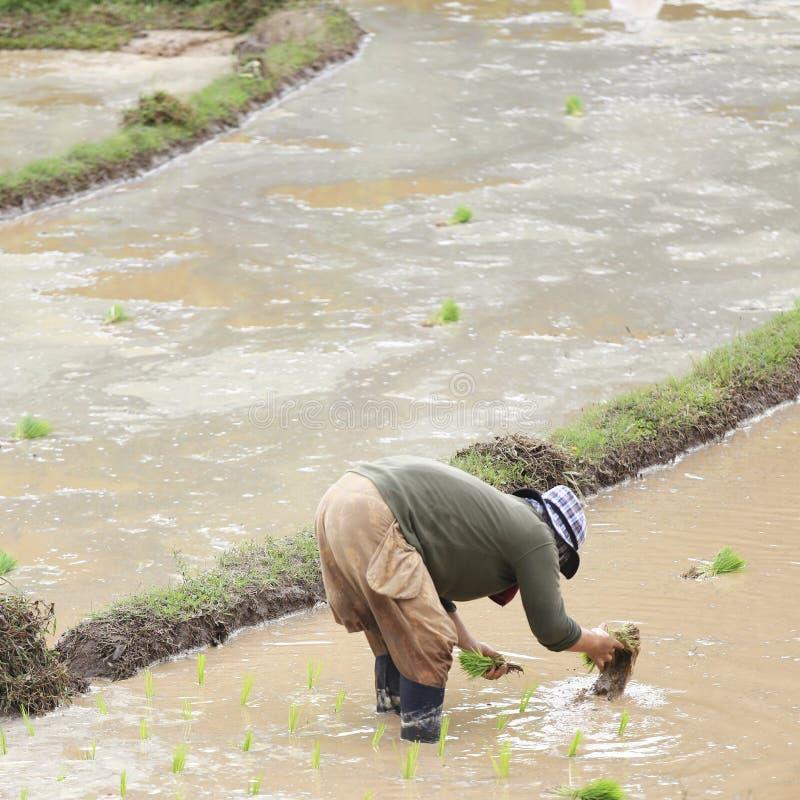 Фермер засаживая неочищенные рисы стоковая фотография rf