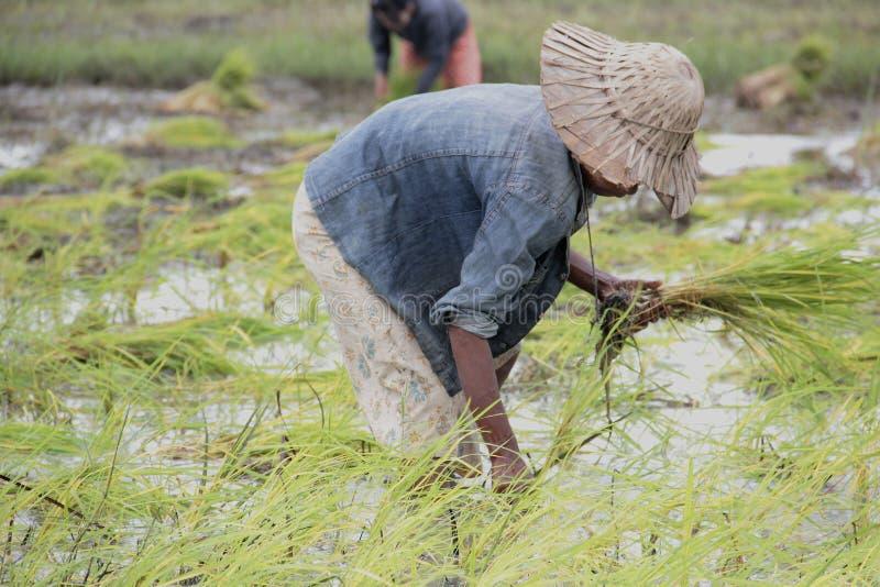 Фермер засаживая неочищенные рисы стоковое фото rf