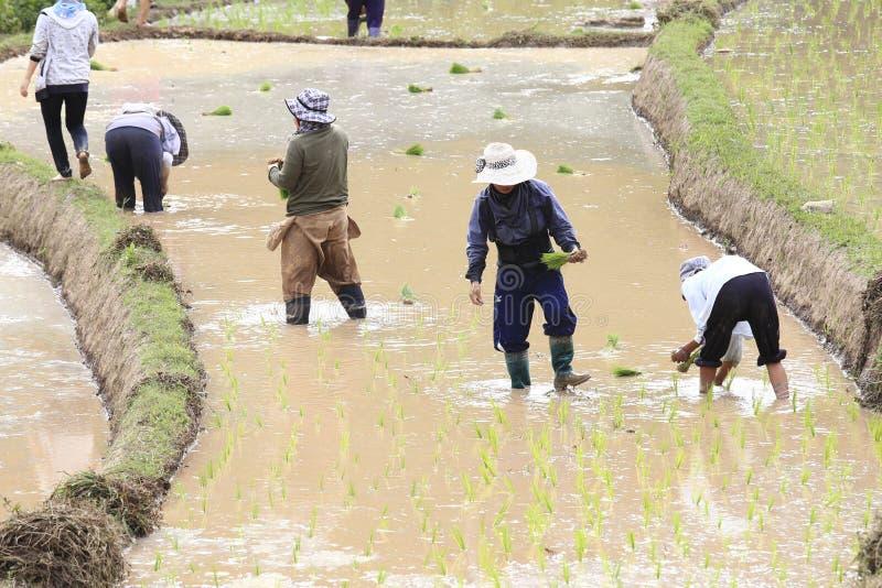 Фермер засаживая неочищенные рисы стоковое изображение