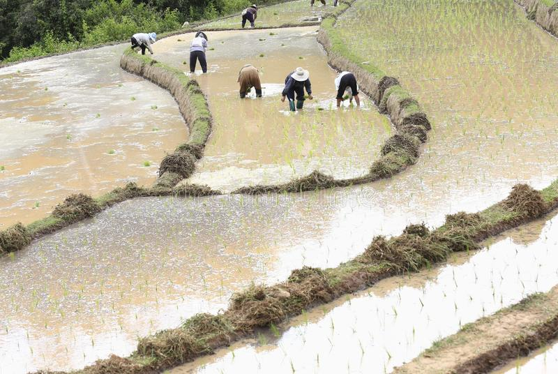 Фермер засаживая неочищенные рисы стоковые изображения