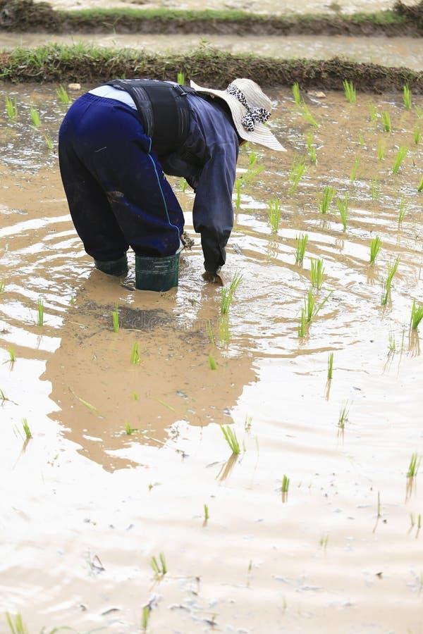 Фермер засаживая неочищенные рисы стоковое изображение rf